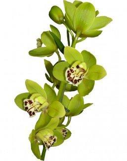 Bouquet of an orchid green | Delivery and order flowers in Aktobe